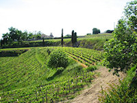 Steep vineyards at Tertre Roteboeuf